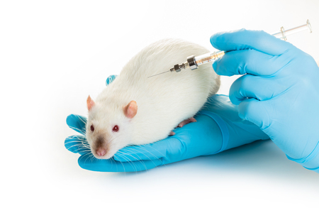 hands in medical gloves make white rat injection on white background Stock Photo