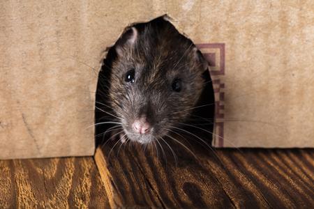 gray rat peeking out of the box close-up