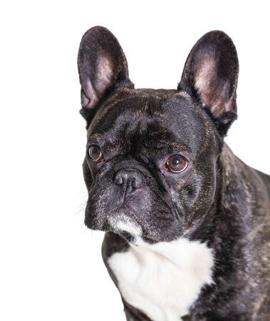 french bulldog breed dog on white isolated background