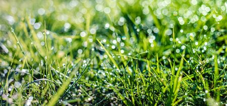 natural background, grass with dew drops closeup