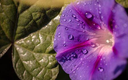 garden bindweed flower closeup with dew drops