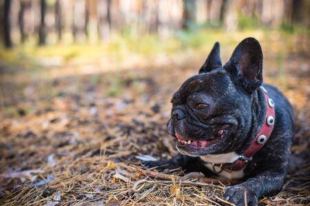 dog french bulldog portrait in the forest Archivio Fotografico