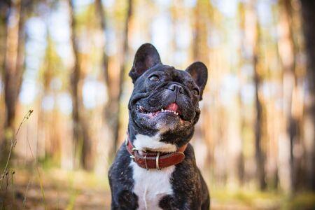 dog french bulldog portrait in the forest 版權商用圖片