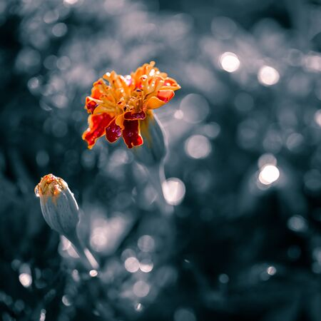 natural landscape, growing marigold flowers close-up