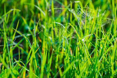 nature background, spider web in green grass