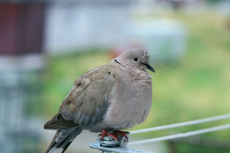 verry: verry beautiful pigeon resting awhile Stock Photo