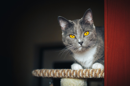 Funny gray surprised cat sitting on the scratching post