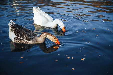brent: Brent Goose, Goose, Birds