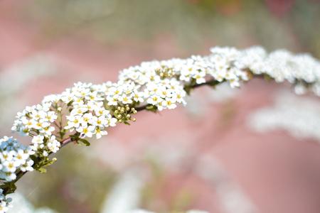 Spiraea.flowering spiraea.