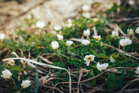 Beautiful white flowers spring like snowdrops Stock Photo