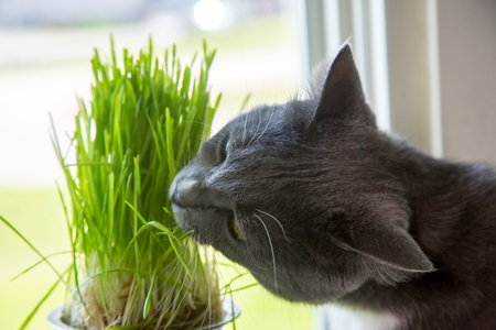 Vitamins for cats - germinated oats. Green grass in a flowerpot. Cat eating grass useful. Cat gray, grass green. Background - a wooden, dark board. Germinated oats is useful for cats