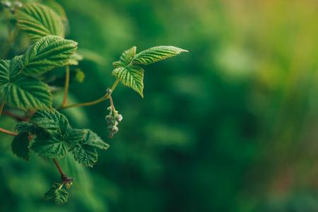 Raspberry leaves, green wallpaper