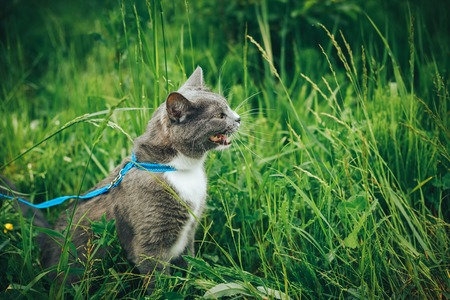 Gray pet cat with leash wandering in backyard. Young cute male cat wearing a harness go on lawn having lifted tail. Pets walking outdoor adventure on green grass in park.