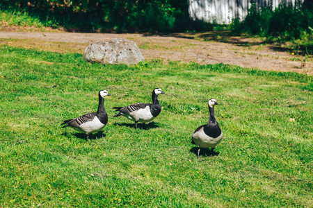 details of geese that eat the fresh grass