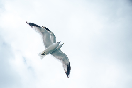 Armenian Gull in Flight on Blue Sky. Two birds as two minds are flying over each other Stock Photo