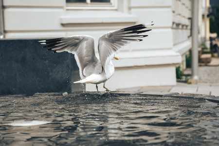 frolicking: Fountain and herring gull in the water in the city in Norway
