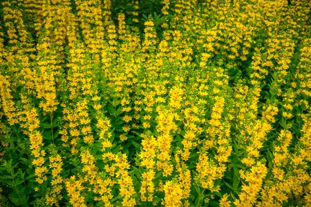 High yellow flowers lysimachia punctata garden loosestrife stock high yellow flowers lysimachia punctata garden loosestrife yellow loosestrife or garden yellow loosestrife mightylinksfo
