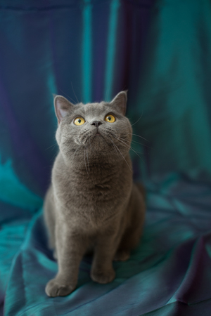 Very beautiful pensive British cat sits on purple background . The concept of pets.