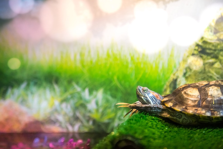 Red Eared Terrapin - Trachemys scripta elegans lies on the bridge is heated and folding his paws in front of him in the aquarium Stock Photo