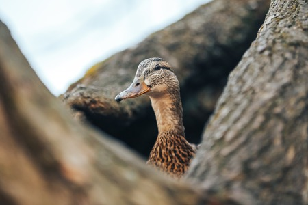 duck sitting on eggs in hollowed out tree stump, lake caroline, florida