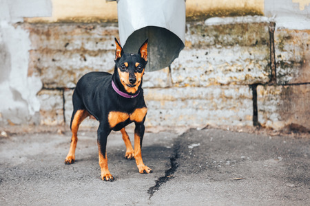 Young doberman Pinscher tied to the pipe