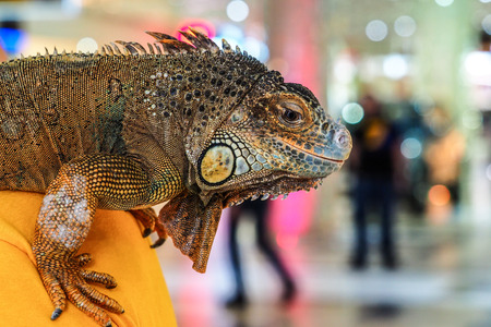 Green iguana sitting on the hands of man. Man with iguana on his shoulder Stock Photo