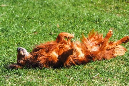 Dachshund feliz acostado de espaldas sobre la hierba verde fresca con las orejas y las patas hacia arriba