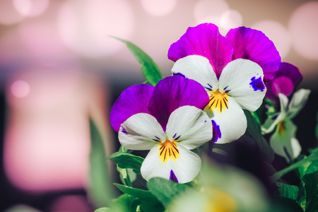 Viola cornuta, horned pansy, tufted pansy. blue pansy viola flower in garden close up Stock Photo