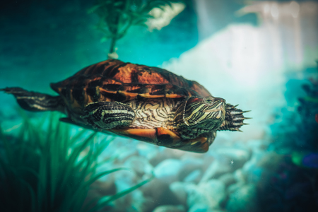 Isolated close-up of a red-eared slider turtle red-eared terrapin in a pond