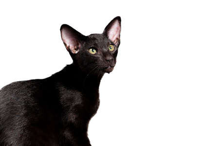 Black oriental cat isolated on white background