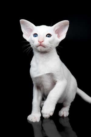 white oriental kitten isolated over black background Imagens