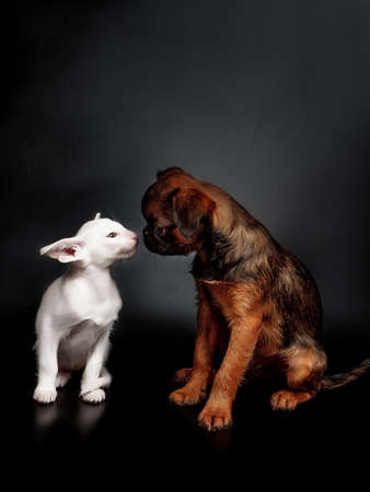 Close-up portrait of a cat and dog. Isolated on black background. Griffon and oriental kitten.