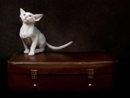 Oriental kitten seat on suitcase on brown background