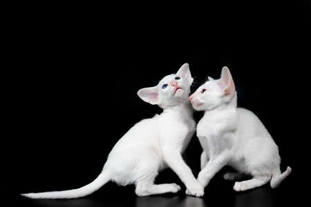 two white oriental kitten isolated over black background