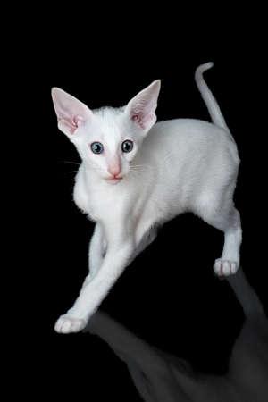 white oriental kitten isolated over black background Archivio Fotografico