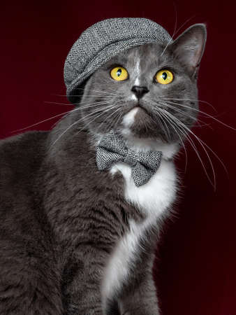 elegant gray cat wearing hat and bowtie sitting and posing with elegance on red brown background Archivio Fotografico