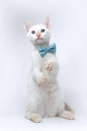 young white cat looking up, wearing a blue ribbon on white background