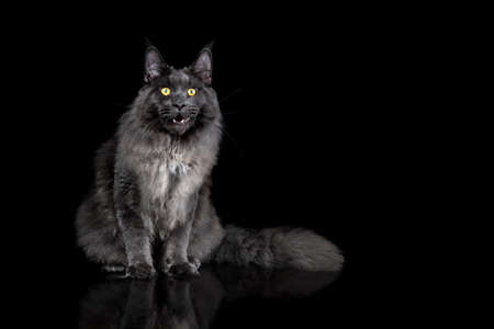 Gray Maine Coon Cat Portrait on a black background Archivio Fotografico