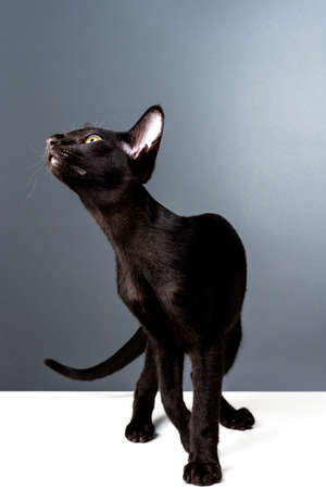 Beautiful black oriental cat isolated over gray background