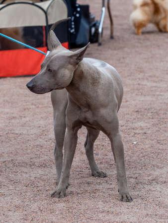 grey Thai Ridgeback dog stay on his head Archivio Fotografico