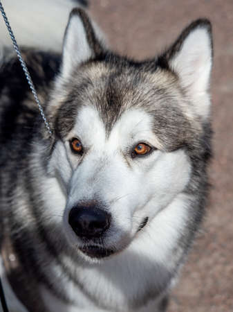 Portrait of a charming fluffy gray-white Alaskan Malamute close-up. Beautiful huge friendly sled dog breed. A female Malamute with beautiful intelligent brown eyes.