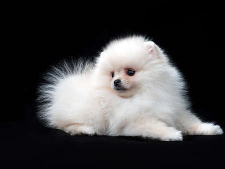 Fluffy Cute White Pomeranian Spitz Dog Standing isolated on Black Background in Front view