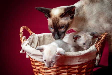 Studio photography of a siamese oriental cat on red backgrounds Archivio Fotografico