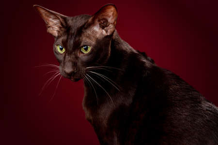 Cat Oriental chocolate brown stares isolated on red