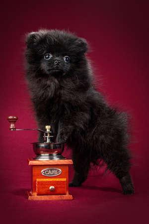 Pomeranian Spitz puppy. Cute fluffy black Spitz dog on red background. Family-friendly tiny Dwarf-Spitz pom dog.