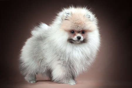 Pomeranian Spitz puppy. Cute fluffy colored Spitz dog on brown background. Family-friendly tiny Dwarf-Spitz pom dog.