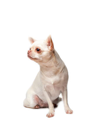 Chihuahua sitting and looking at camera against white background Archivio Fotografico