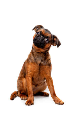 Griffon puppy on a white background