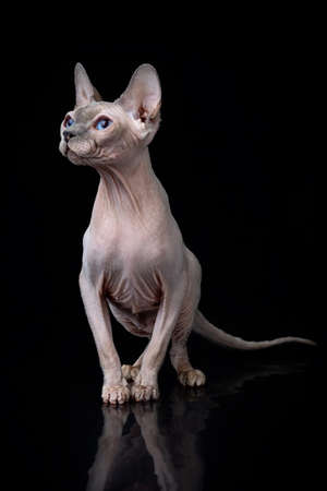 Gray Sphynx with blue eyes Cat Sitting and Looking in Camera on Isolated Black Background