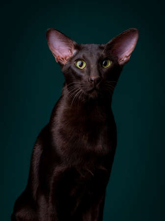 Beautiful black oriental cat isolated over black background 写真素材